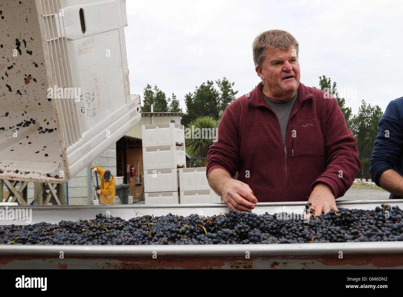 Winemaker Larry McKenna at a sorting table during harvest time at the winery of Escarpment VIneyard, Martinborough, - Stock Image