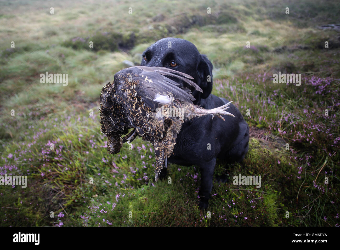 A dog holds a grouse in it's mouth during a shoot in high on the Yorkshire moors in Swinithwaite, North Yorkshire. - Stock Image