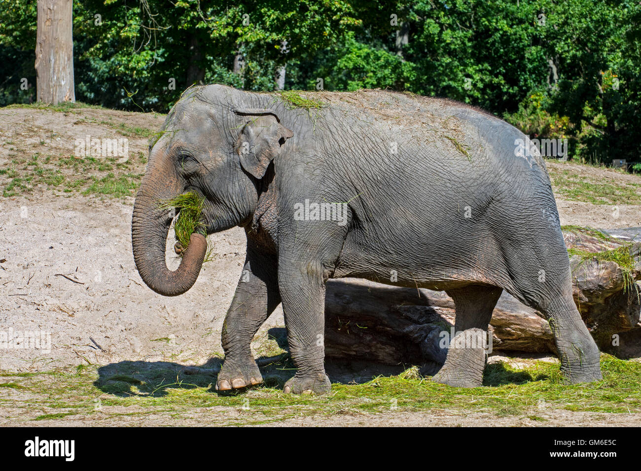 Asian elephant / Asiatic elephant (Elephas maximus) eating grass during feeding time in zoo - Stock Image