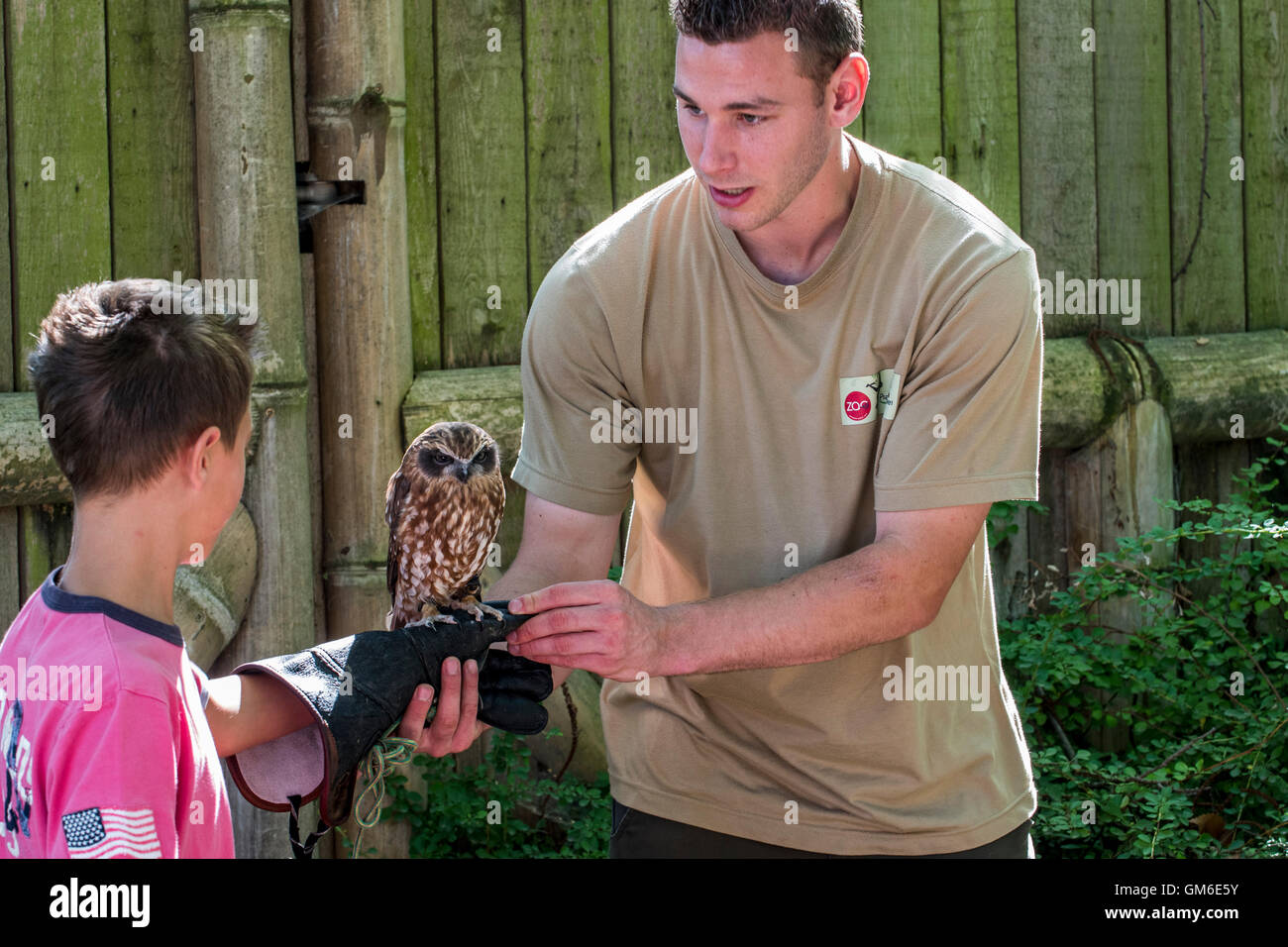 Zookeeper placing owl on hand of child in the Planckendael Zoo, Belgium - Stock Image