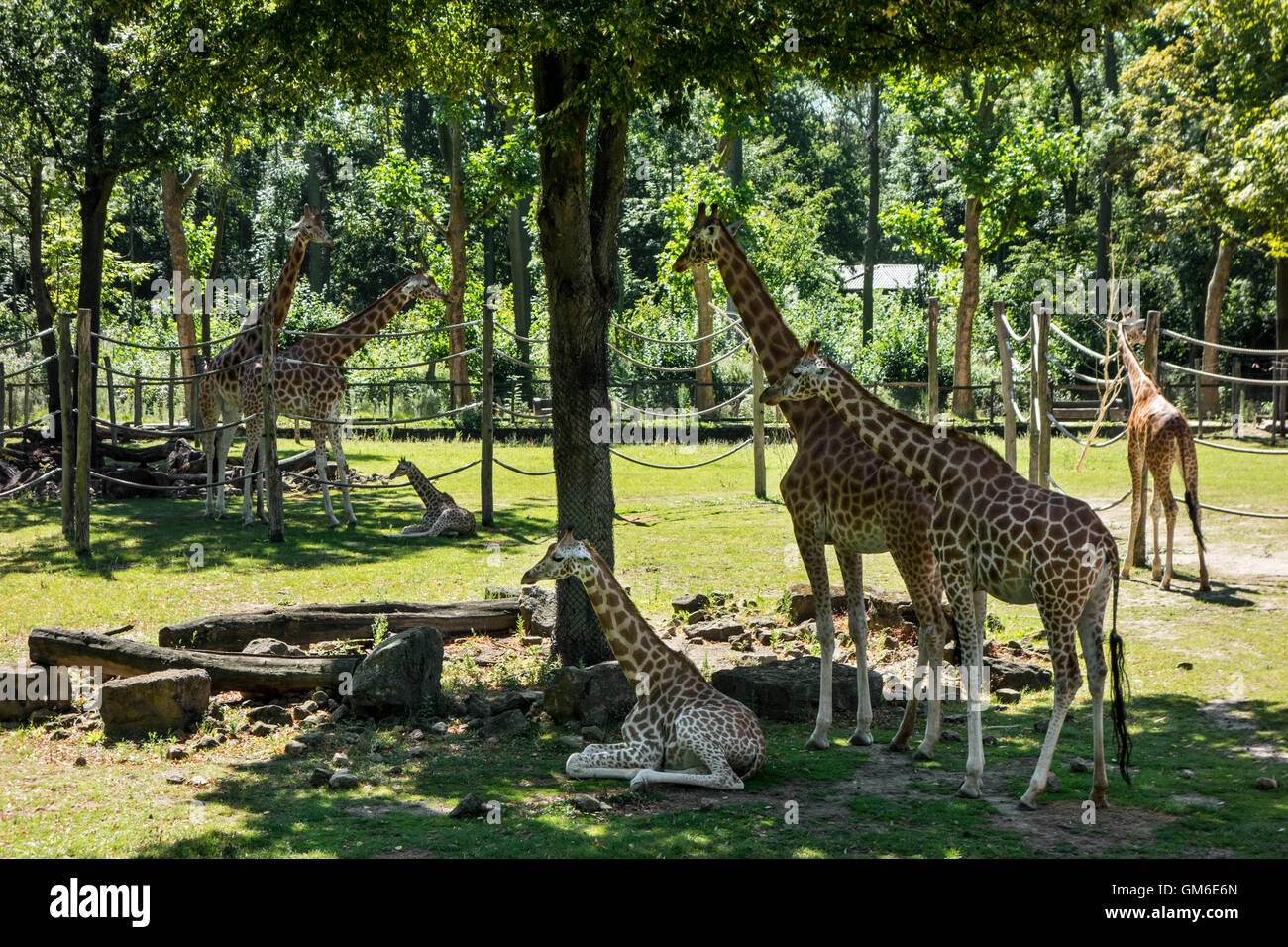 Giraffes with babies in outdoor enclosure in the Planckendael Zoo, Belgium - Stock Image