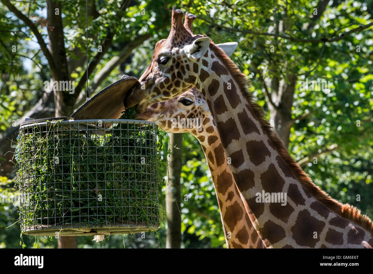 Close up of two giraffes eating grass during feeding time in zoo - Stock Image