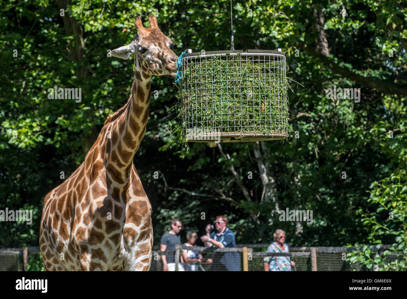 Visitors passing by giraffe eating grass during feeding time in zoo - Stock Image
