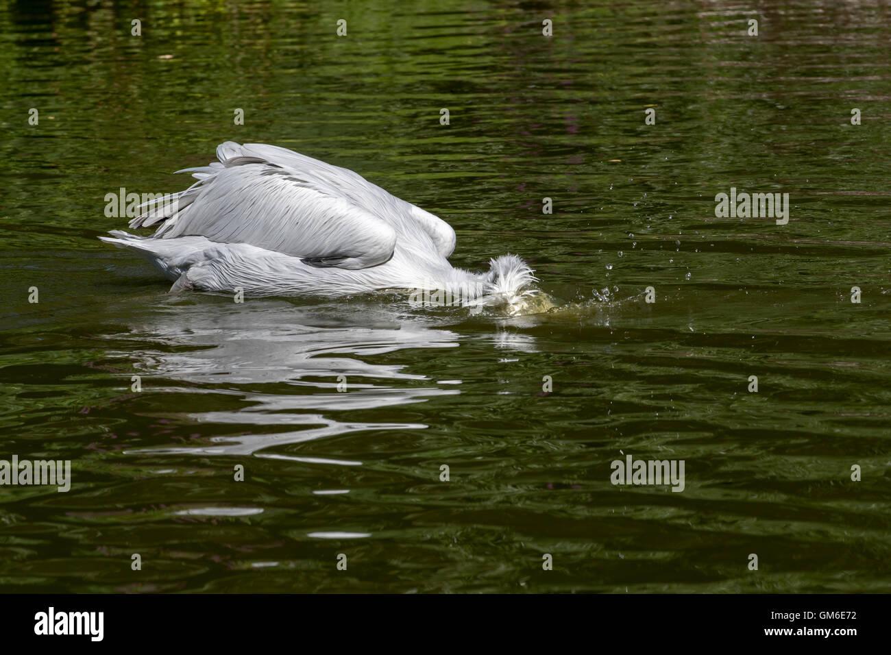 Dalmatian pelican (Pelecanus crispus) catching fish in lake, native to Europe and Asia - Stock Image