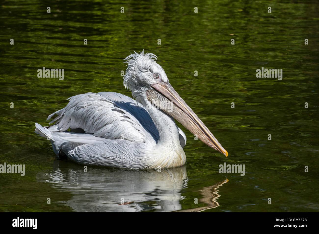 Dalmatian pelican (Pelecanus crispus) swimming in lake, native to Europe and Asia - Stock Image