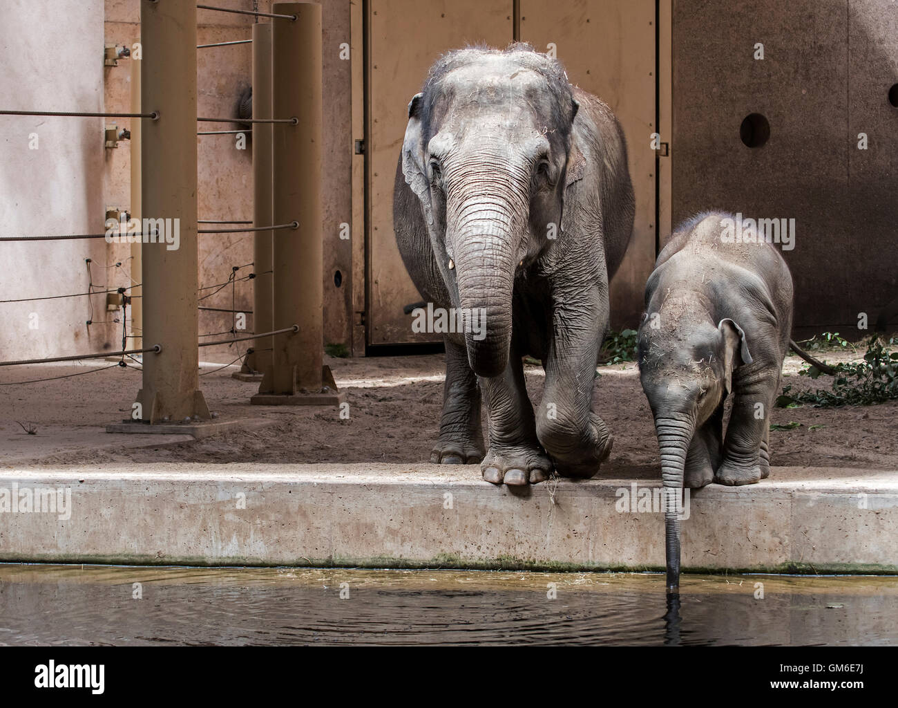 Asian elephant (Elephas maximus) female with young drinking water in indoor enclosure in the Planckendael Zoo, Belgium - Stock Image