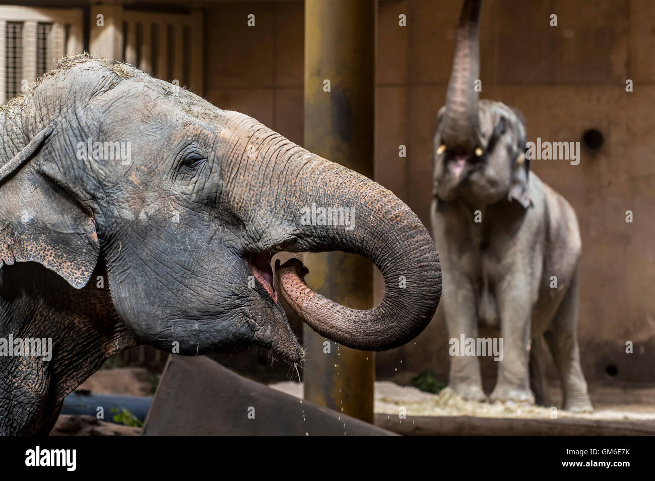 Asian elephant / Asiatic elephants (Elephas maximus) drinking and feeding in indoor enclosure in the Planckendael - Stock Image