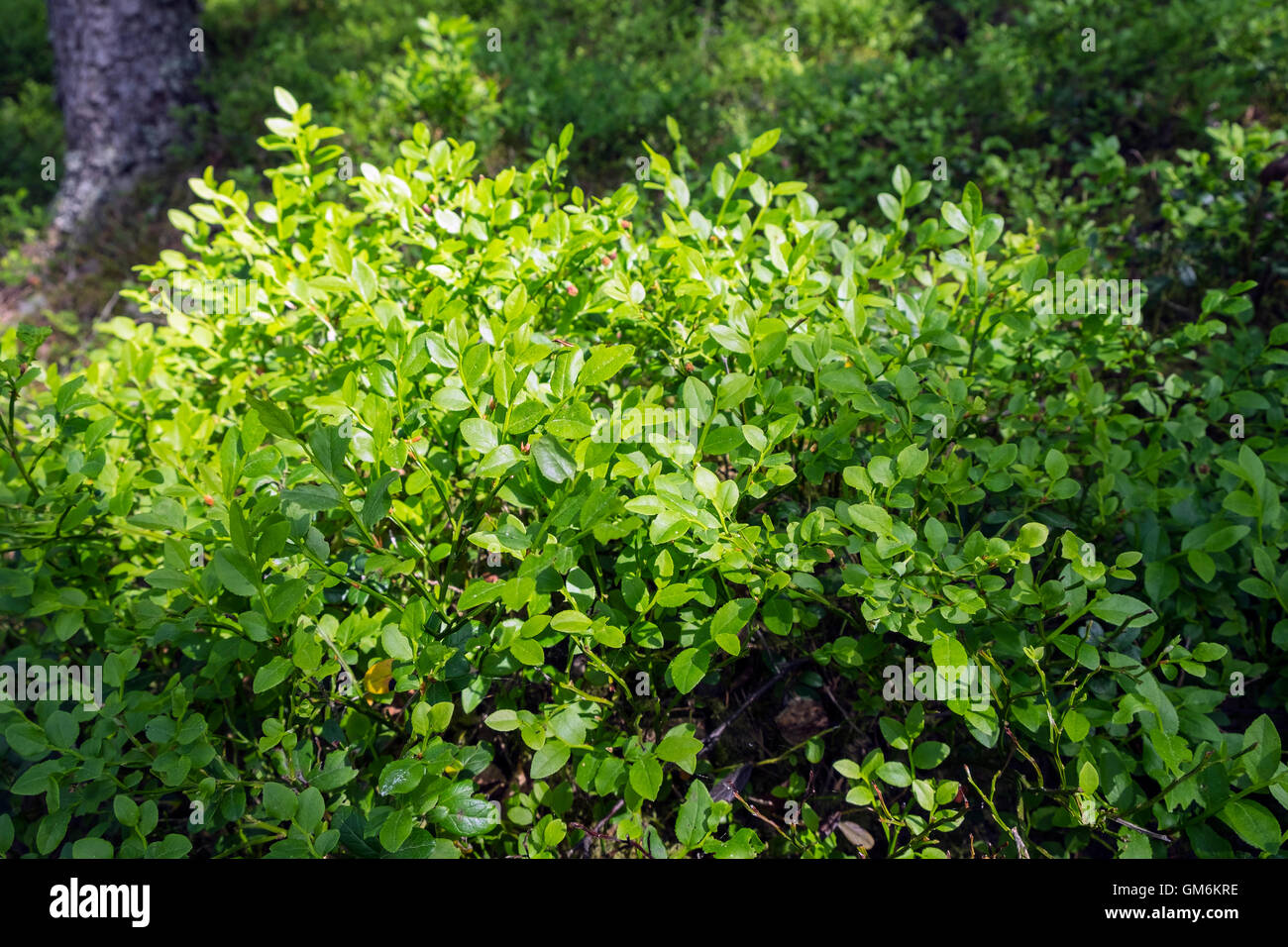 Bilberry sprigs (Vaccinium myrtillus) - Stock Image