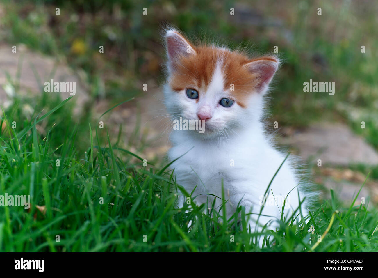 Five weeks old kitten sitting in grass - Stock Image