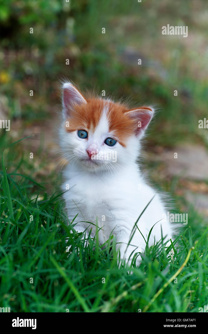 Five weeks old kitten sitting in grass and looking at camera - Stock Image