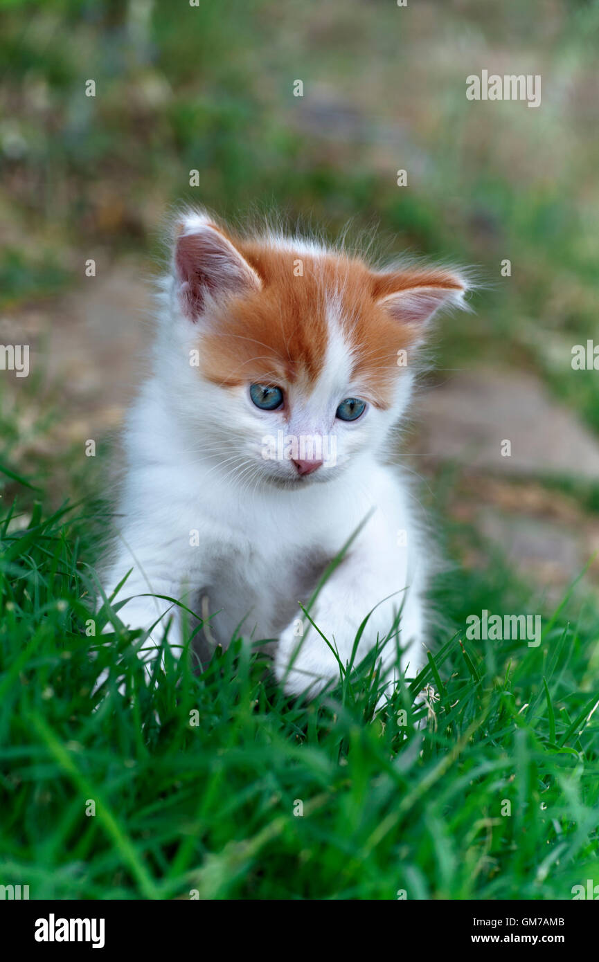 Five weeks old kitten playing in the grass - Stock Image