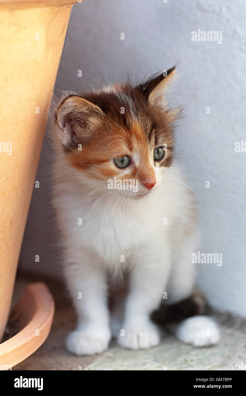 Calico kitten sitting outdoors next to a flower pot - Stock Image