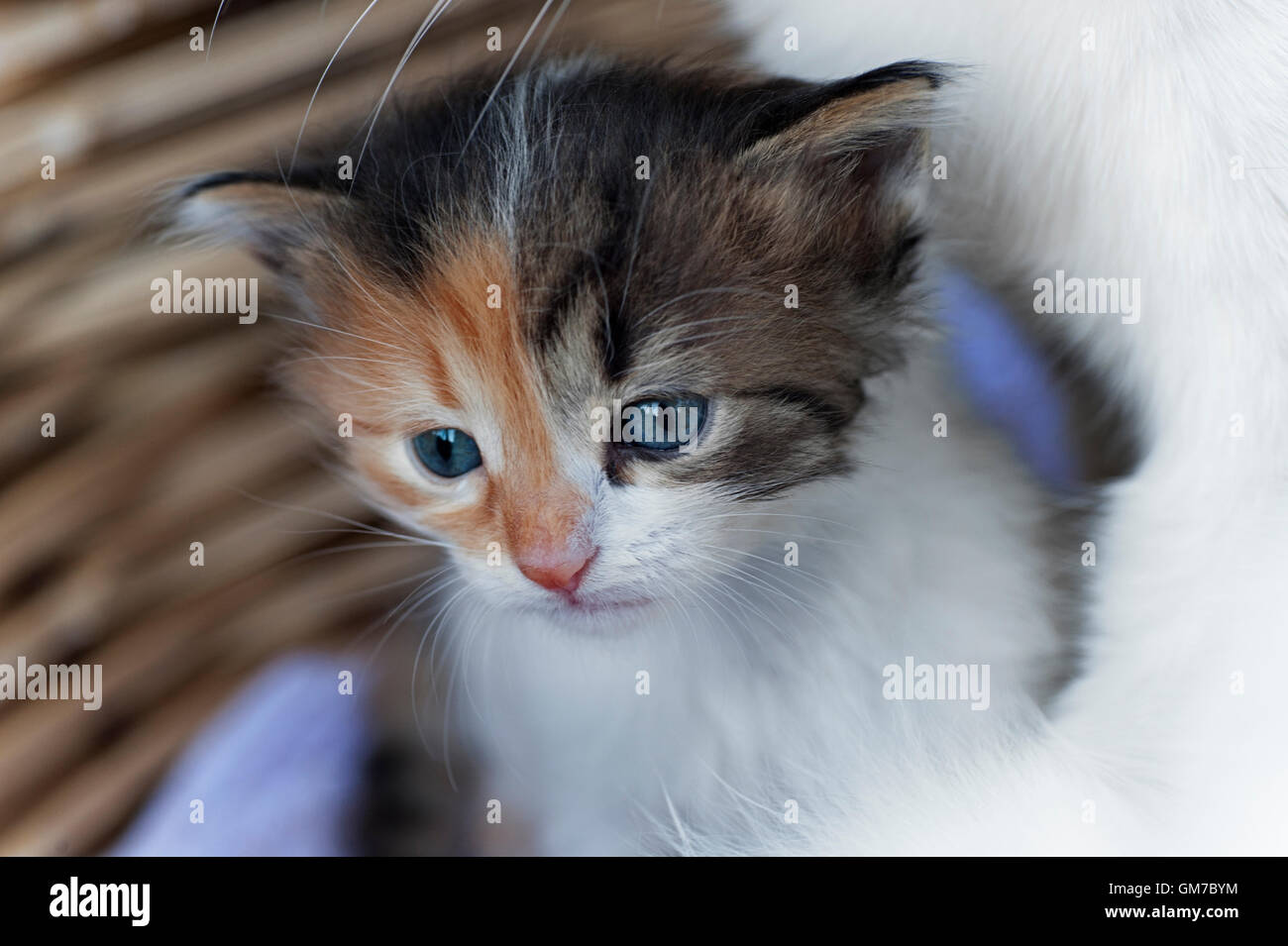 Four weeks old kitten next to its mother in a basket - Stock Image