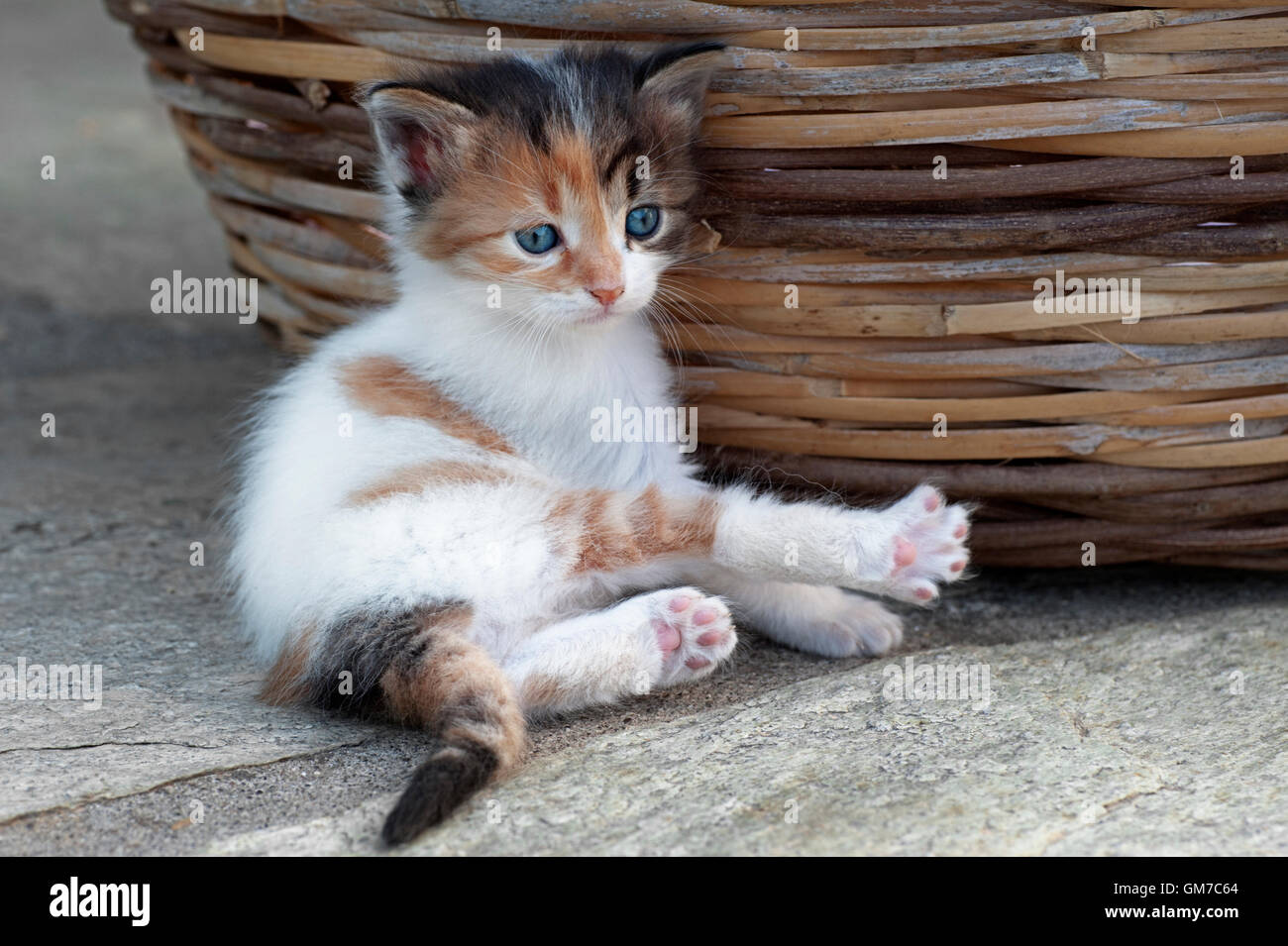 Four weeks old calico kitten lying next to a basket outdoors - Stock Image