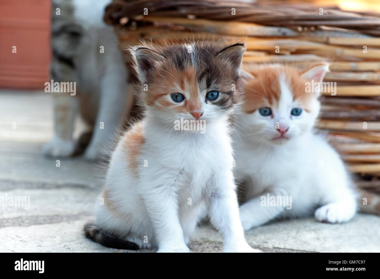 Two four weeks old kittens with their mother in the background - Stock Image