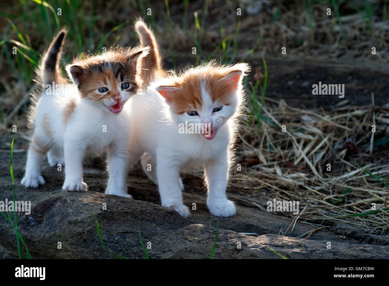 Two four weeks old crying kittens outdoors - Stock Image