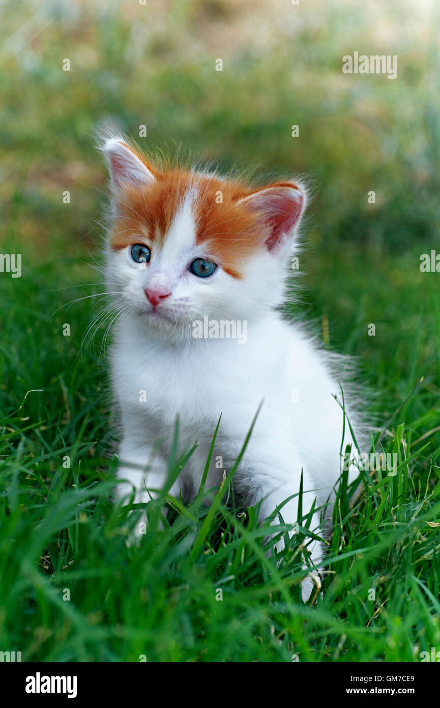 Five weeks old kitten sitting in the grass - Stock Image