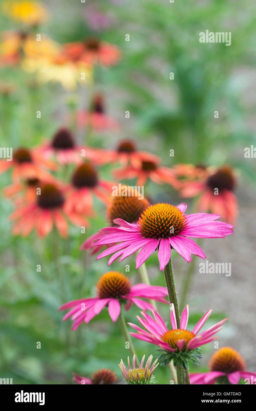 Echinacea 'Pink shimmer'. Coneflower - Stock Image