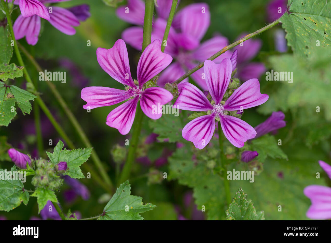 Wilde Malve, Große Käsepappel, Malva sylvestris, Malva silvestris, common mallow, cheeses, high mallow, tall mallow, Stock Photo