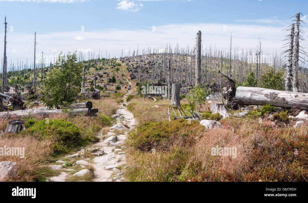 Trojmezna (Bayerischer Plockenstein) hill with hiking trail and forest devastated by bark beetle infestation in - Stock Image