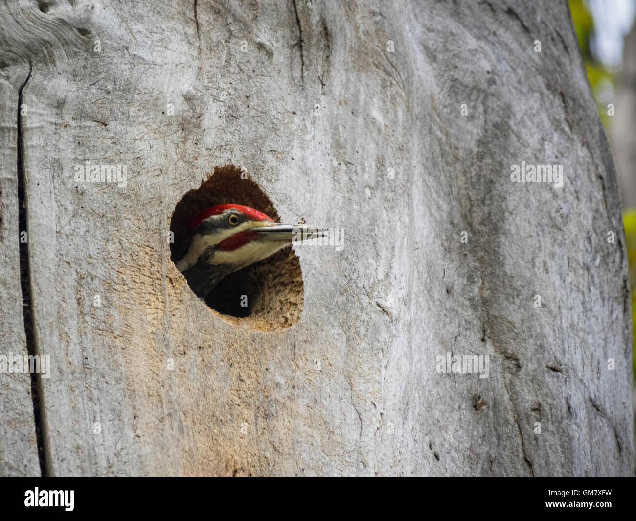 Pilated woodpecker peaking out of nest - Stock Image
