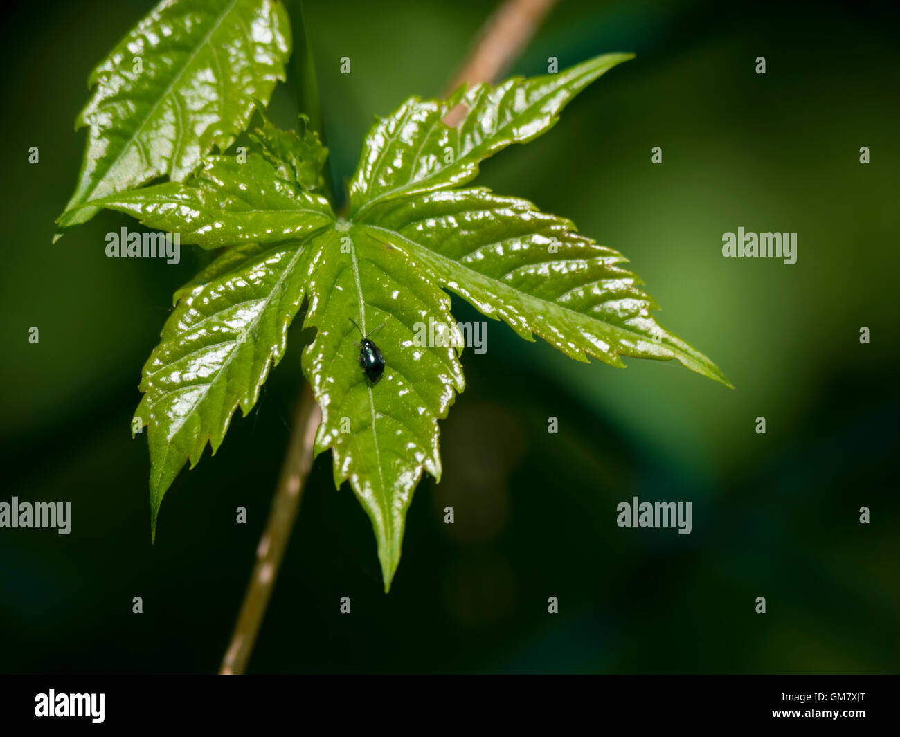 Bug on a pointy leaf - Stock Image