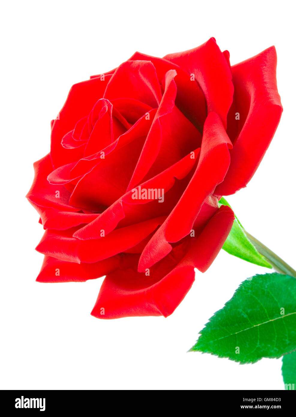 Close up of velvety red rose on an angle - Stock Image