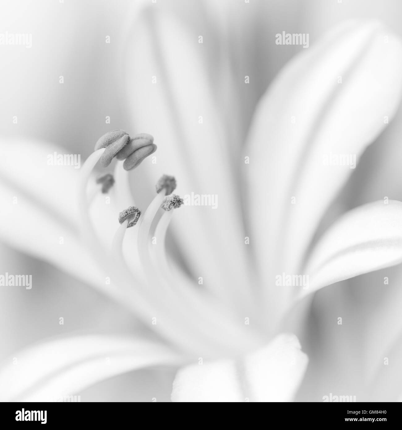 Close up of Agapanthus flower, black and white. - Stock Image