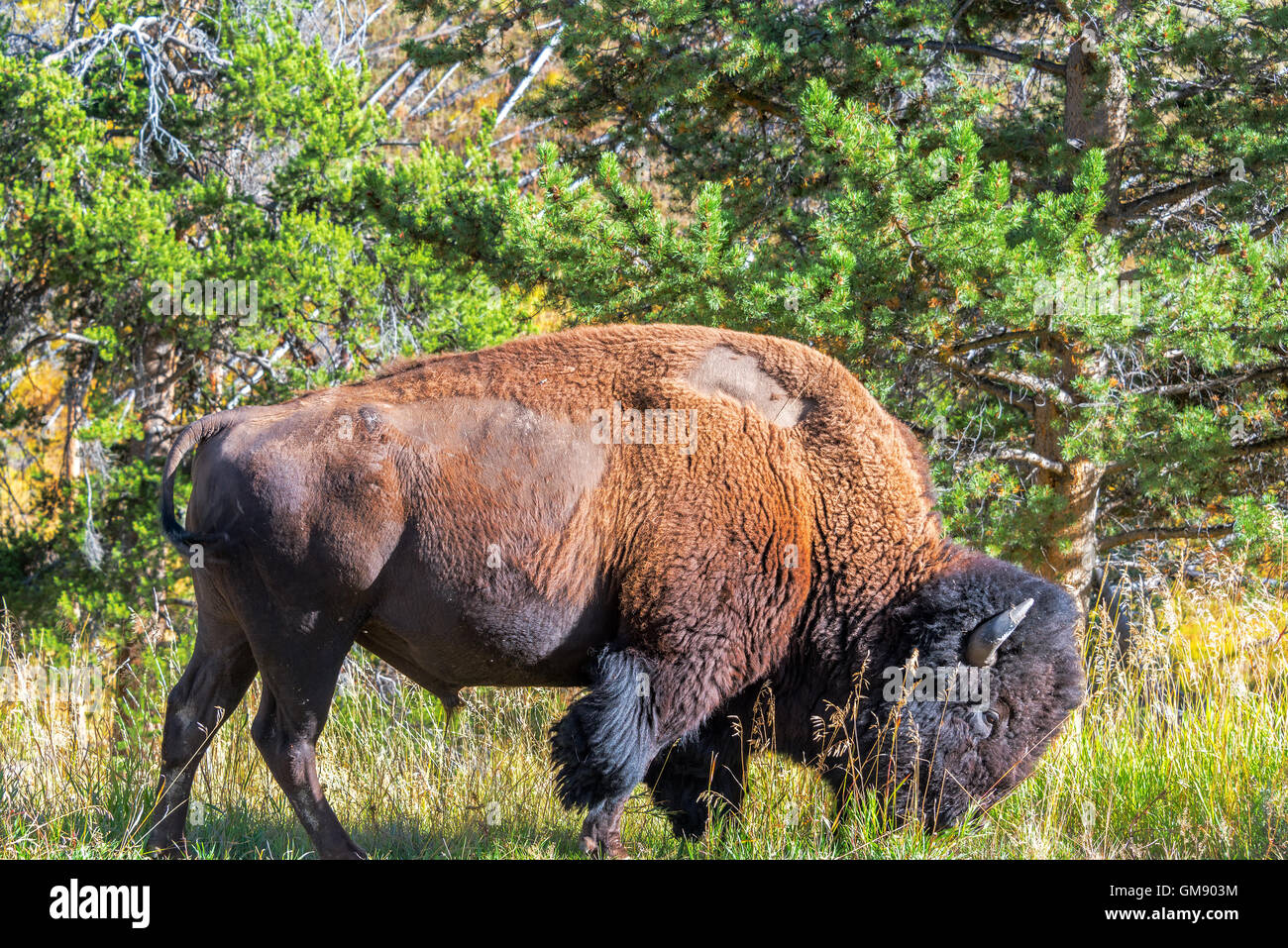 American bison in a forest in Yellowstone National Park - Stock Image