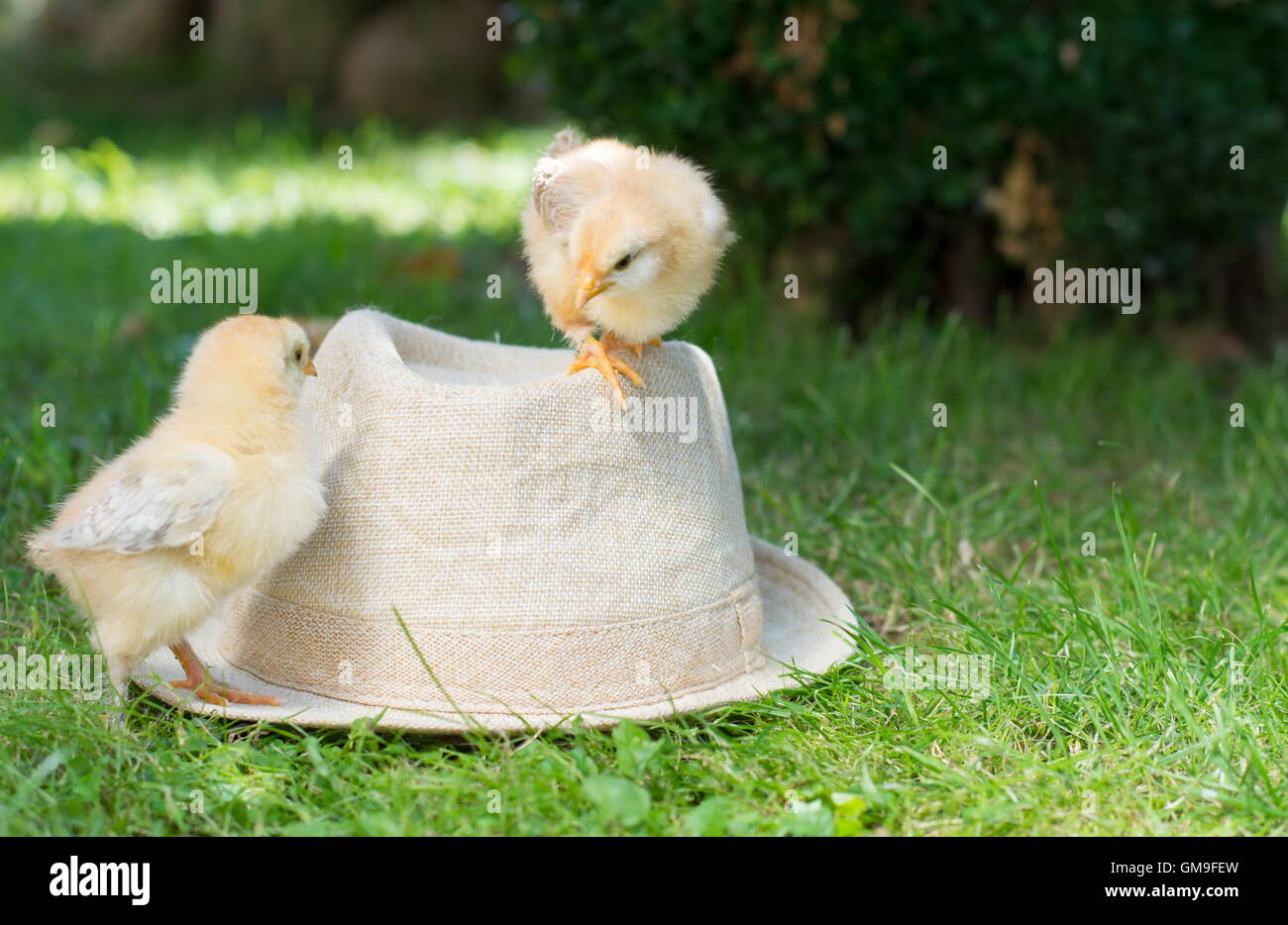 Baby chickens standing on a straw hat - Stock Image