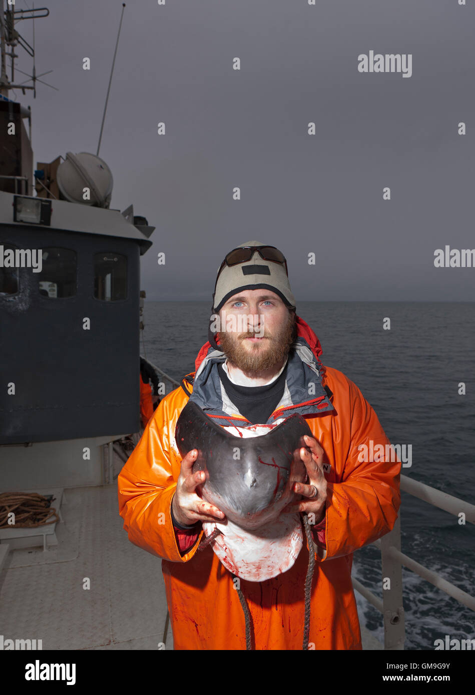 Research scientist holds a piece of the lower jaw from a newly hunted Minke Whale,  Hrafnreydur KO-100, Iceland - Stock Image