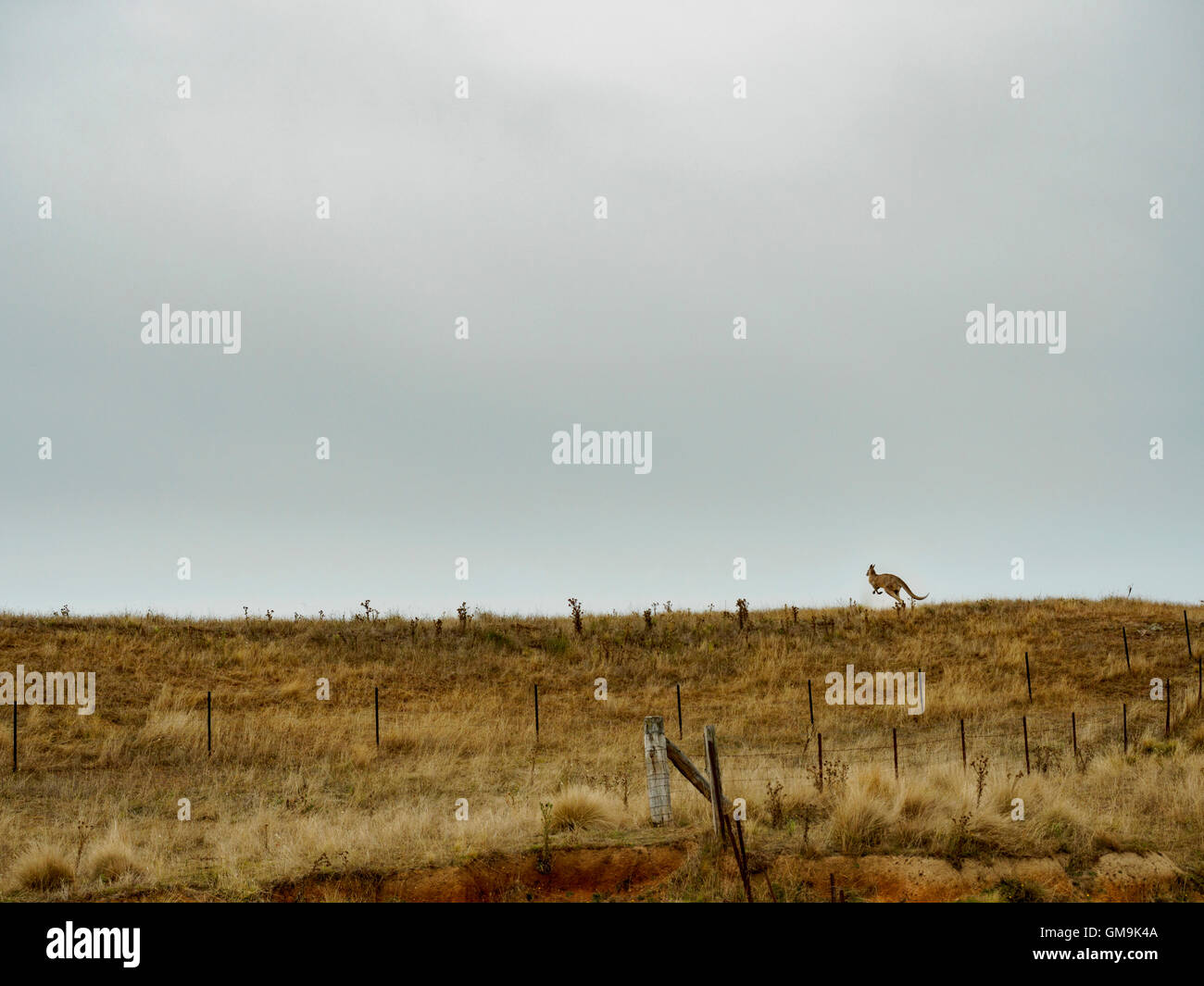 Australia, Rural landscape with kangaroo hopping in grass - Stock Image