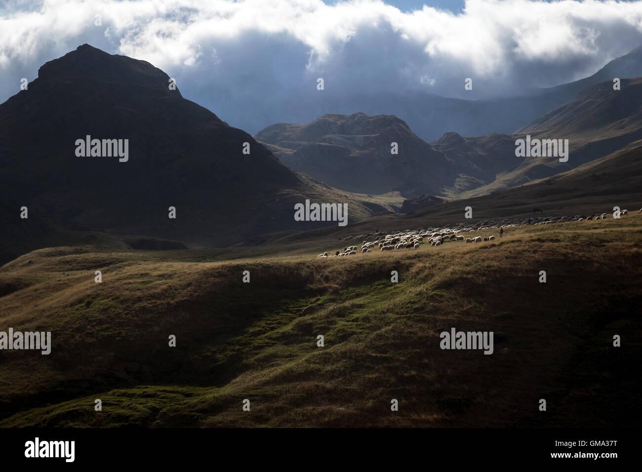 Flocks of sheep grazing along the Pyrenees border Portalet, France - Stock Image