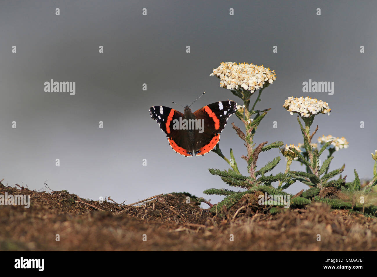 Red admiral butterfly with wings open on Yarrow plant - Stock Image