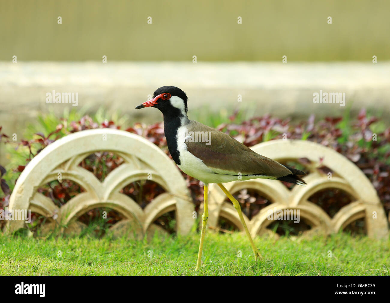 Red-wattled Lapwing - Stock Image