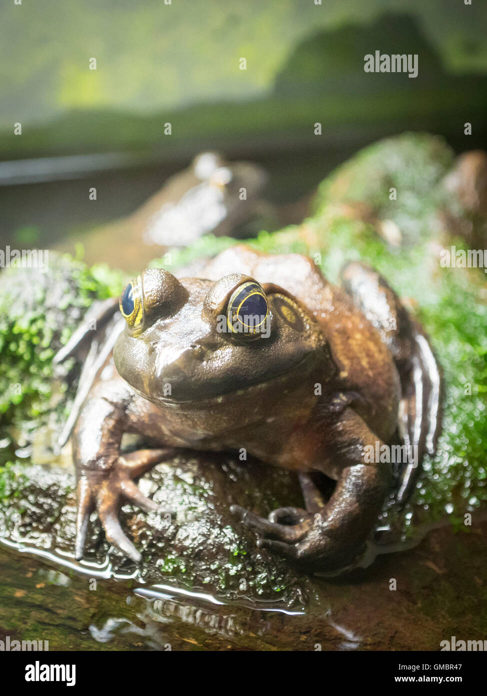 An American bullfrog (Lithobates catesbeianus or Rana catesbeiana) in captivity at the Vancouver Aquarium, in Vancouver, Stock Photo