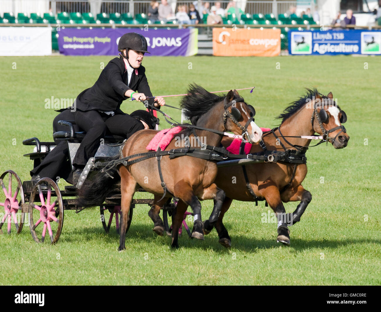 Ponies and trap being raced. - Stock Image