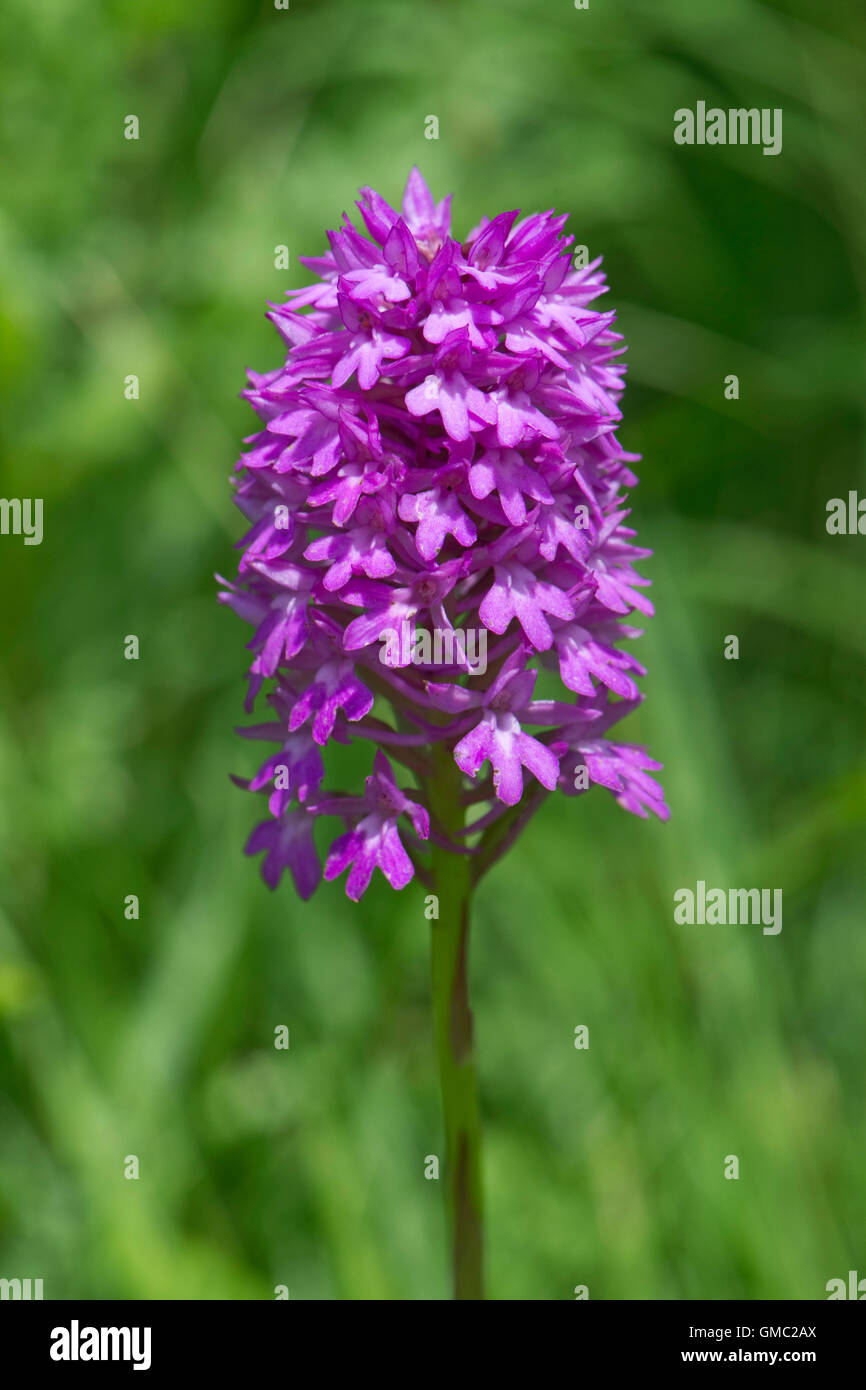 A pyramidal orchid, Anacamptis pyramidalis, with typical pyramid shaped flower head, June Stock Photo