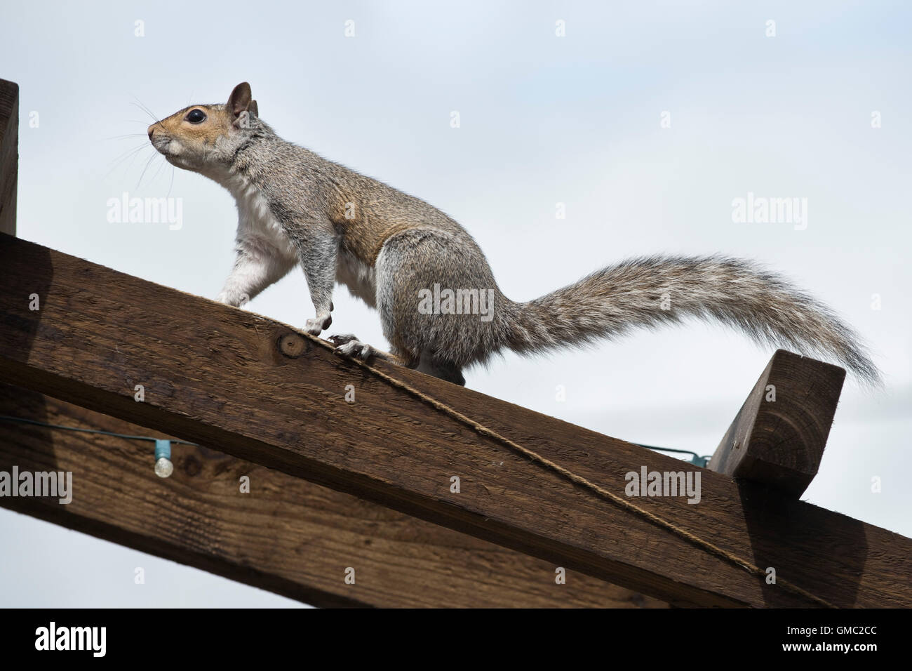An adult grey squiirel in a jumping position escaping after raiding a bird feeder, Berkshire, July - Stock Image