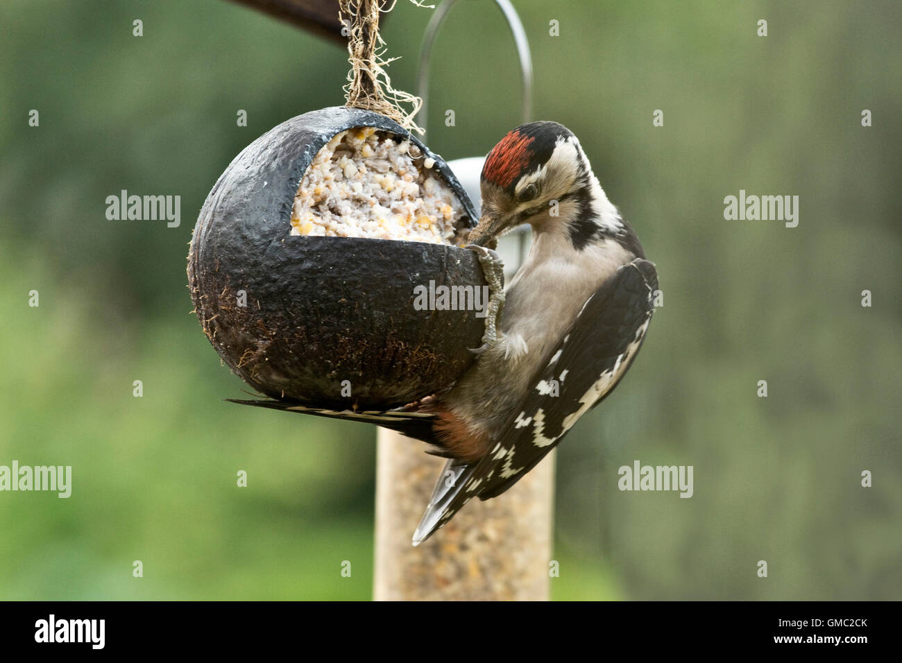 A juvenile great spotted woodpecked, Dendrocopos major, feeding from a fat and seed filled coconut shell - Stock Image
