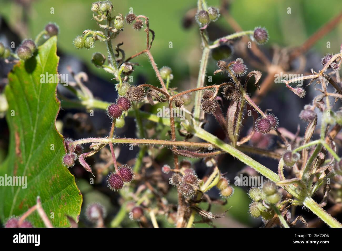Burrs Stock Photos & Burrs Stock Images - Alamy