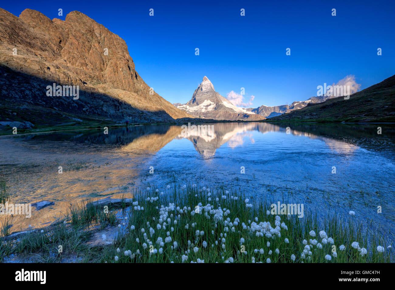 Cotton grass frame the Matterhorn reflected in Lake Stellisee at dawn Zermatt Canton of Valais Switzerland Europe - Stock Image