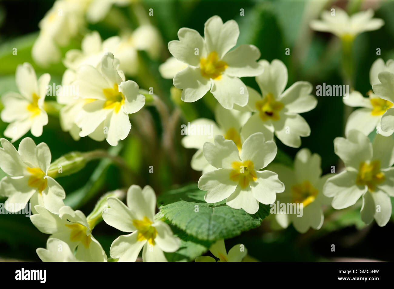 much loved early spring flower, the english primrose in full bloom Jane Ann Butler Photography JABP1604 - Stock Image