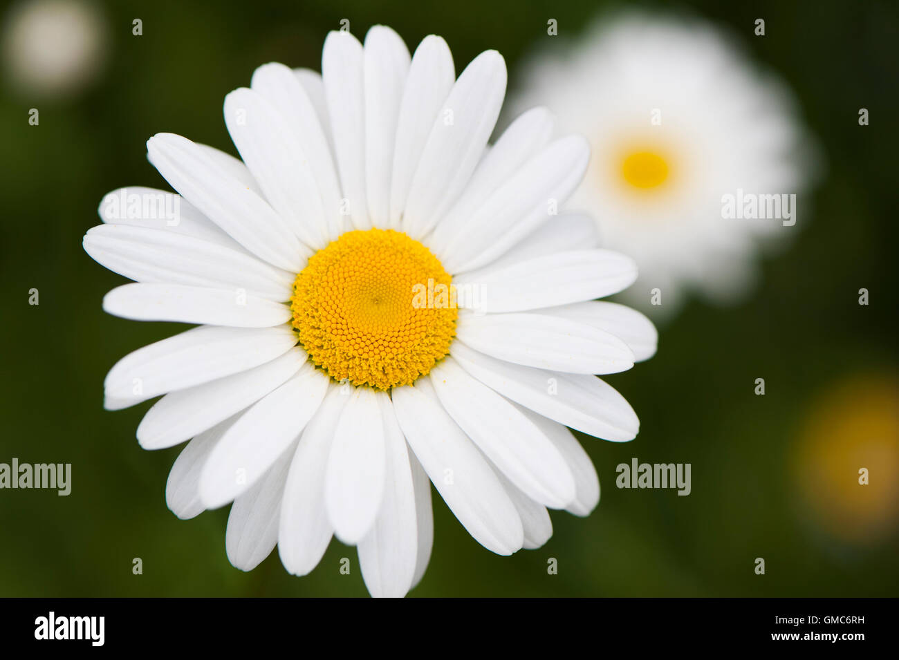 Close-up detail of a beautiful, showy, flower head belonging to an ox-eye daisy or marguerite, (Leucanthemum vulgare) Stock Photo