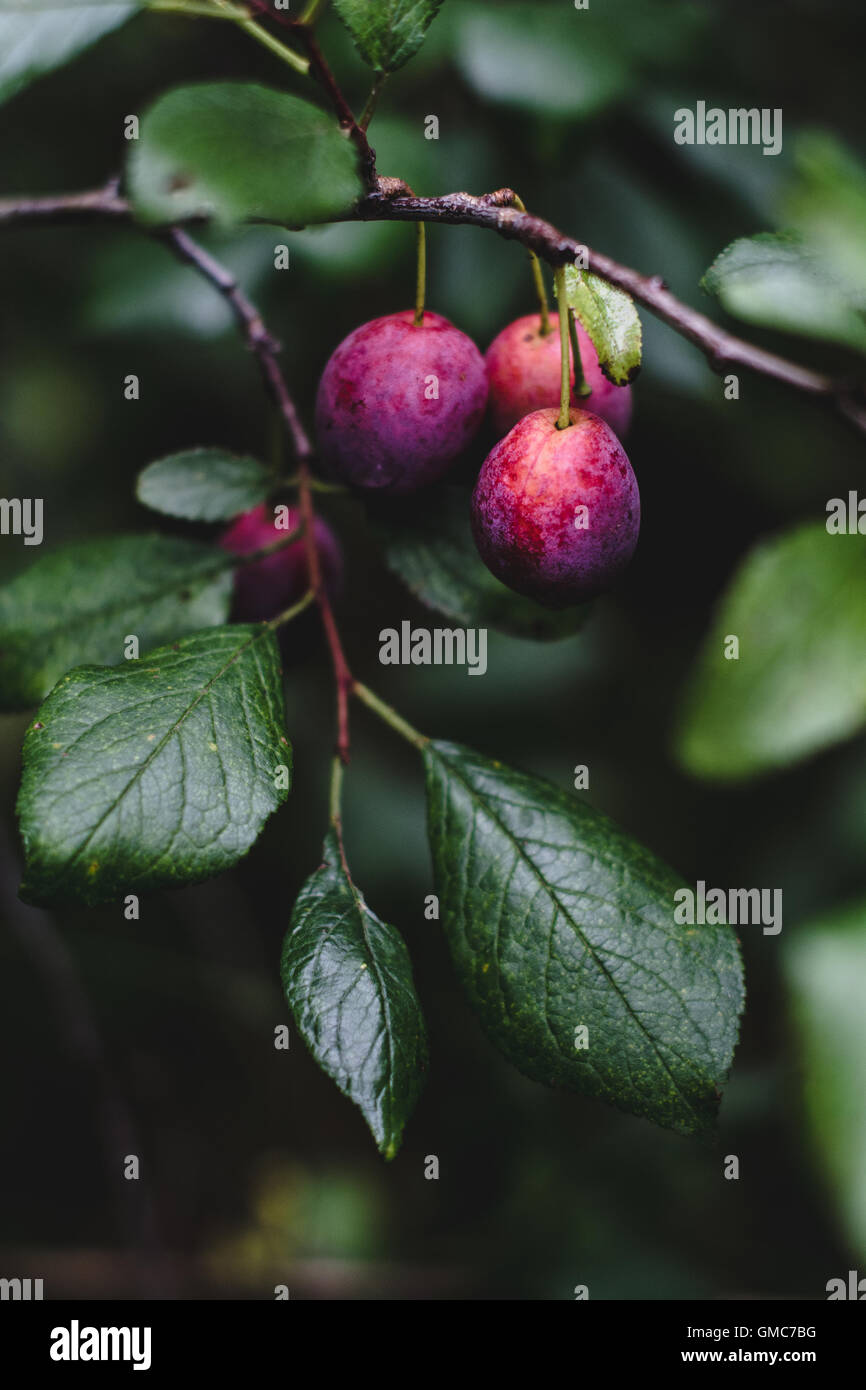 Fresh purple plums on plum tree in the garden. Toned image, selective focus Stock Photo
