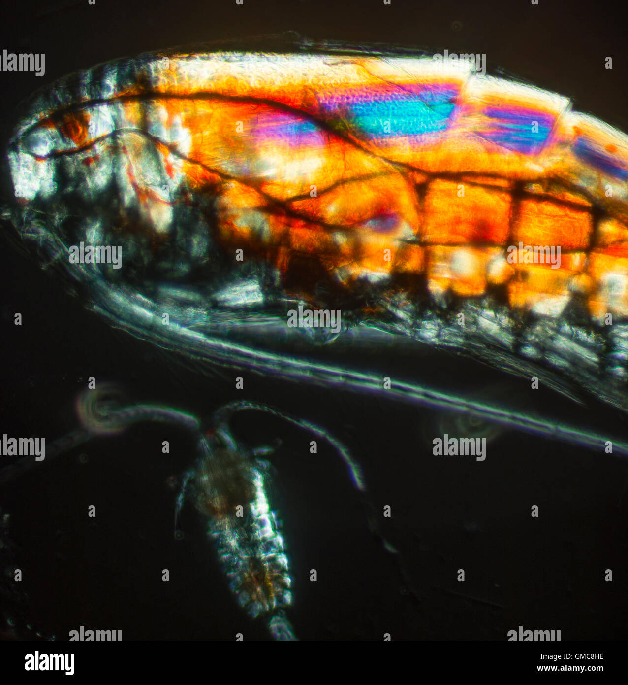 micrp sea animals from the Atlantic, Copepods (/ˈkoʊpɪpɒd/; meaning 'oar-feet') are a group of small crustaceans - Stock Image
