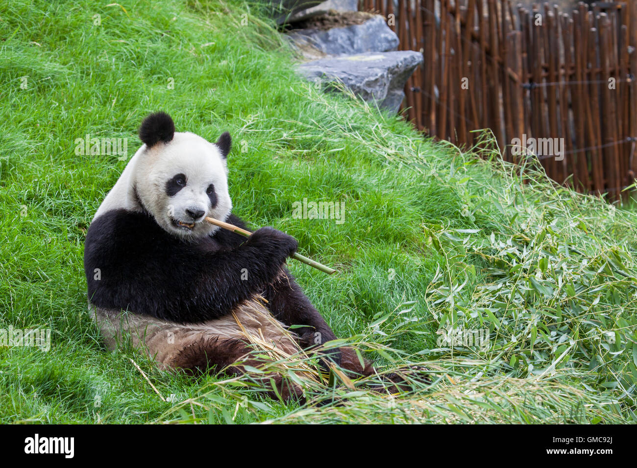Panda sits on the ground and eats bamboo in a Zoo - Stock Image
