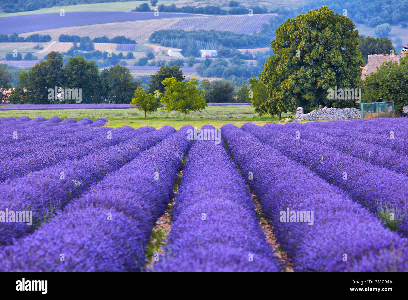 Lavander fields in Provence, France Stock Photo
