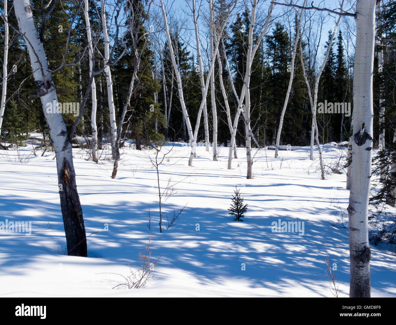 Aspen trees groove in winter boreal forest taiga - Stock Image