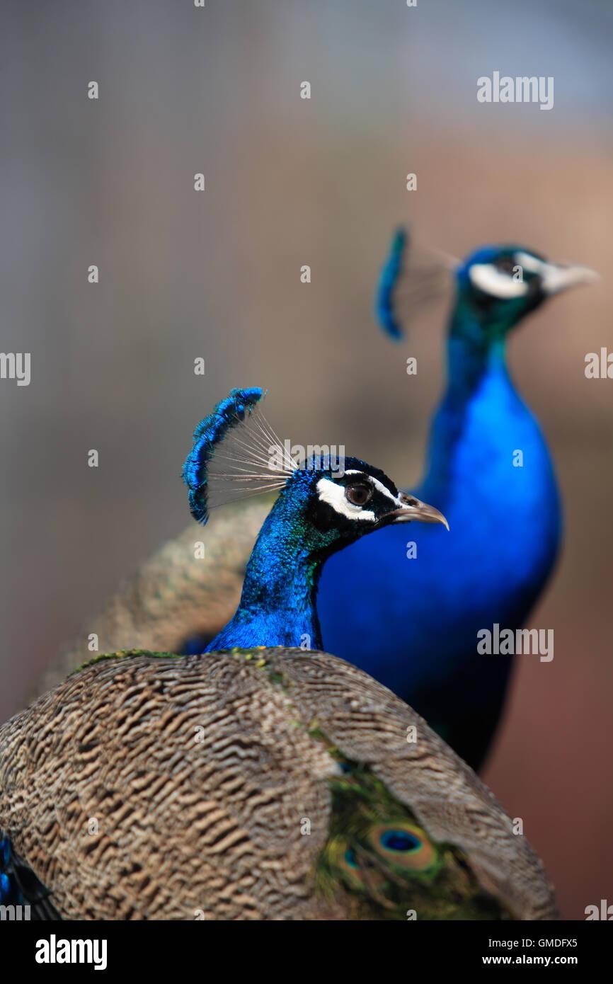 Peacock Portrait Stock Photo
